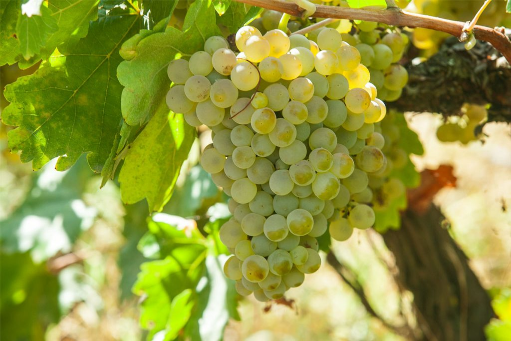 Cluster in the Casilla del Morcillete vineyard, Montilla.