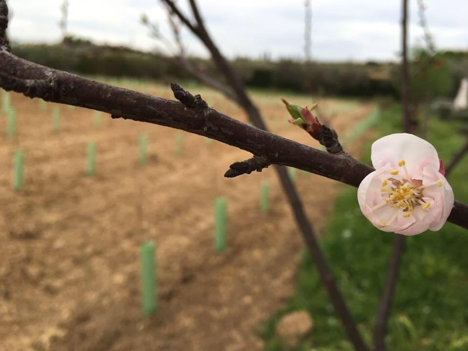 Primavera en el viñedo